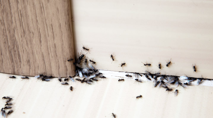 Invazija mravelj